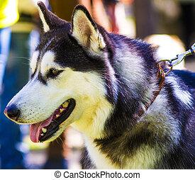 Huskies. Huskies dog breeds. Portrait of a pet dog. A favorite of friend dog.