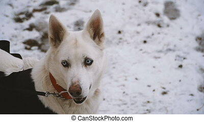 Husky breed dog on white snow background