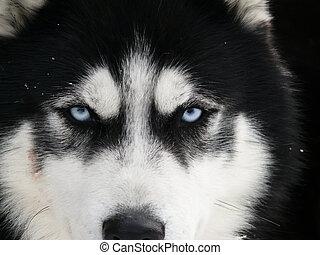 Husky - canada, bc