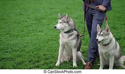husky, chien, homme