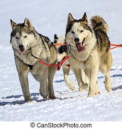 husky, chien traîneau, équipe, au travail