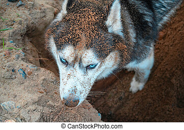 Husky digging ground. Dirty muzzle husky dog rummaging in the sand. View from above. Siberian husky digs a hole. Top view.