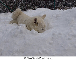 Husky digging in the snow