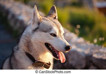 Husky dog ??at sunset, Capri island, Italy