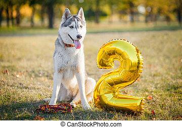 Husky dog celebrating his birthday party