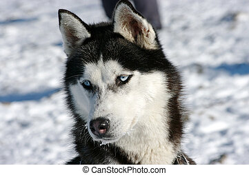 Husky dog during the winter