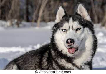 Husky dog with different eyes  black and white husky  brown