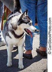 Husky dog on a walk