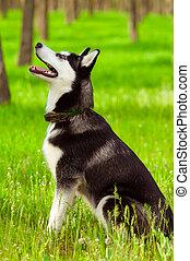 Husky dog on green grass