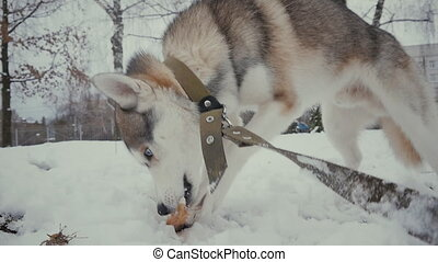 husky dog on snow eating a bone in slow motion at winter