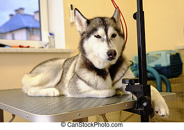 Husky dog on the care table after express molting in the pet salon