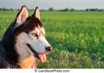 Husky Dog portrait on background of green grass. Siberian husky with blue eyes and tongue out. Evening summer light. Side view.
