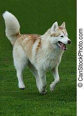 Husky Dog Running on Grass
