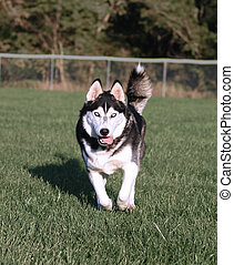 Husky Dog Running