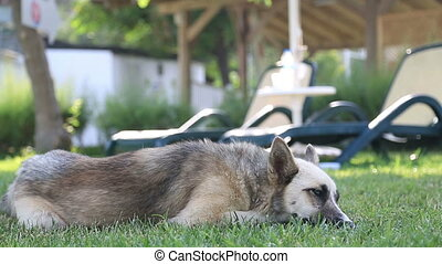 Husky Dog - Siberian Husky lying at the park.