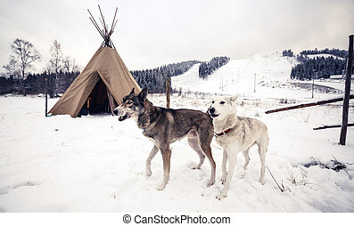 Husky dogs, Central Finland - Husky dogs near wigwam in...