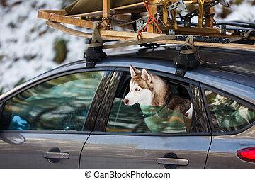 Husky dogs in the car
