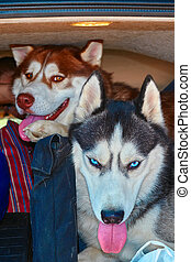 Husky dogs in the trunk.