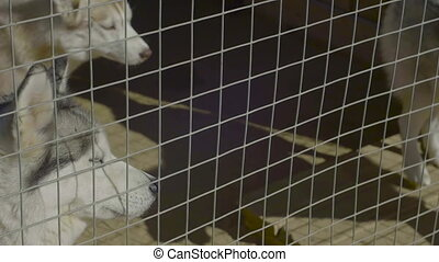 Husky Dogs Stand In Aviary. Pedigree Kennel