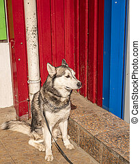 Husky domestic dog on a leash waiting for the owner on the street.