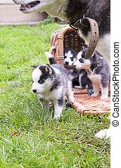 husky in a basket