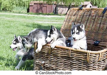 husky in basket