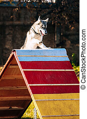 Running and jumping husky in Dog agility, dog sport.