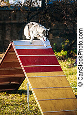 Husky in Dog agility, dog sport