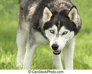 Large Watch Dog Siberian Husky looks dangerous