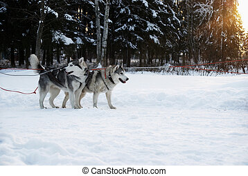 (husky), ondergaande zon , honden, achtergrond, team
