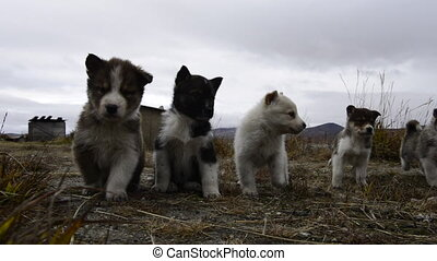 Husky puppies Greenland hill. - Husky puppies playng on the...