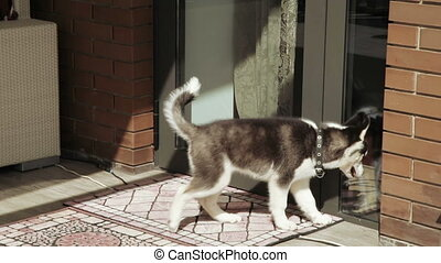 Husky puppy at the door