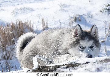 Husky puppy, gray, SIBERIAN, play, dog, blue eyes, fluffy, playful, malamute,