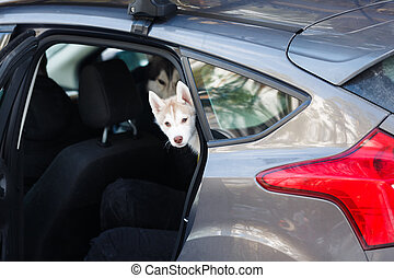 Husky puppy in the car