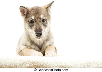 husky puppy on a white background isolated