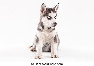 Husky puppy on a white background