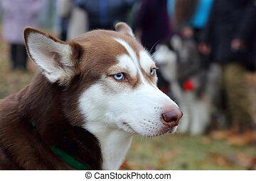 husky, ras, achtervolg wandeling