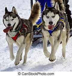 Husky sled dog team at work