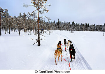 Husky sledge in Lapland of Finland