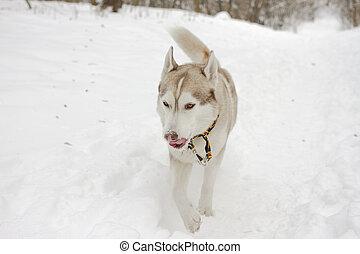 husky snow winter beautiful proud animal wild dog wolf snow great
