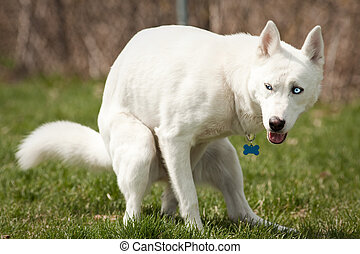 Husky with pooping in a dog park - Husky with blue eyes...