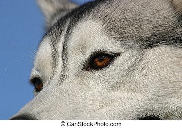 husky, yeux