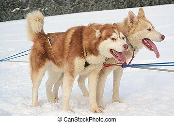 Huskygespann - Zwei Huskys fuer Hundeschlittenfahrt bereit