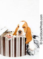 Hutschachtel,  Basset, jagdhund, junger Hund