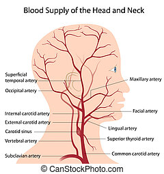 huvud, hals, blod, tillförsel