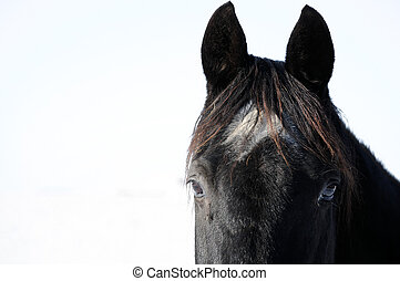huvud, svart, Häst