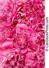 huvuden, blomma, -, pion, bakgrund