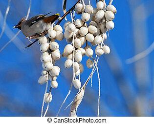 hvid, berries, fugl, branch