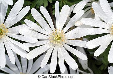 hvid blomstrer