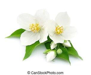 hvid blomstrer, i, jasmine